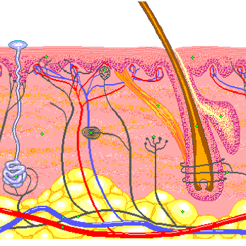 Skin: Part of your integumentary system